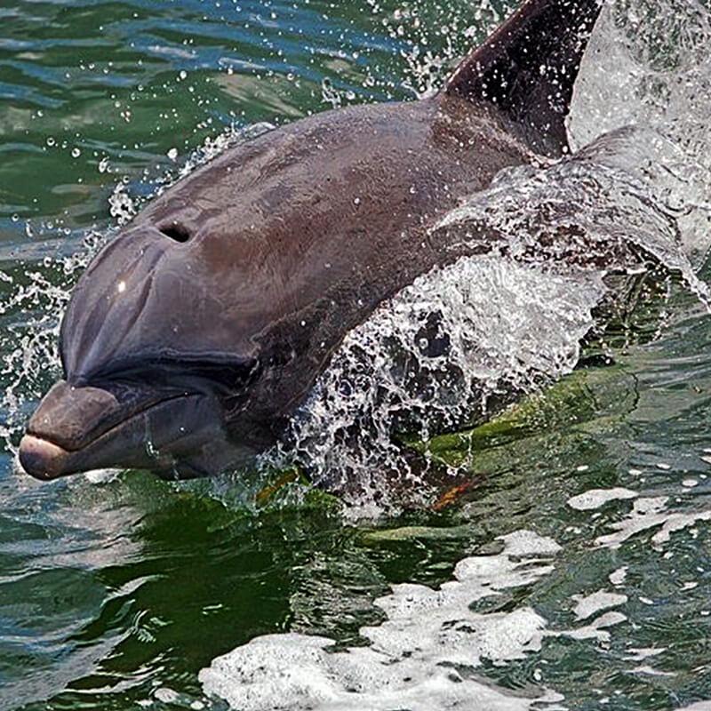 Dolphin of Tiki